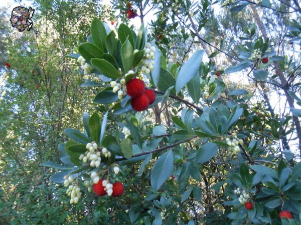 Arbousier, arbuste du maquis
