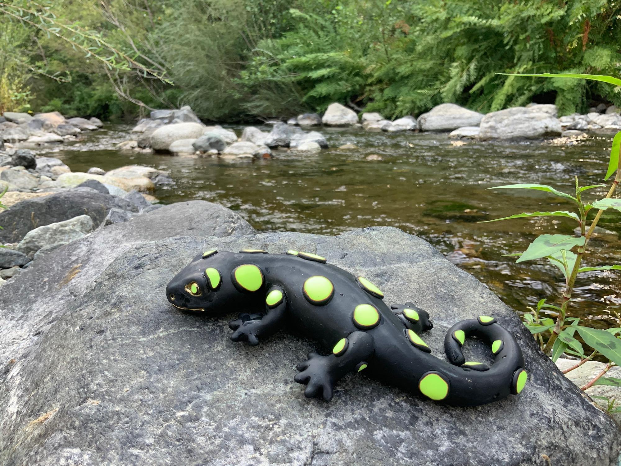 Salamandre corse en pleine mutation dans le Fium'Orbu